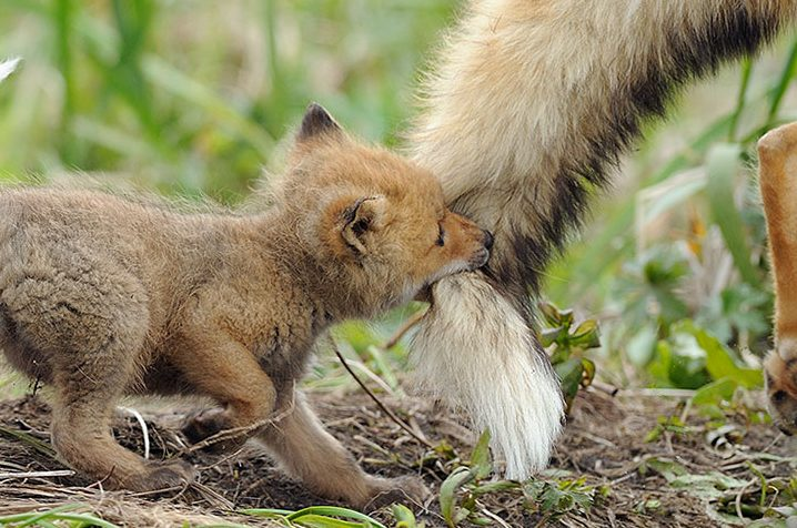 cropped-cute-baby-foxes-2-574436930d433__8807.jpg